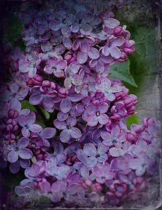 lilac3.jpg
